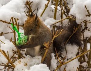 Lačna veverička na ptičji lojni pogači
