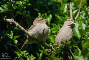 Domača vrabca med malico