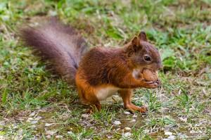 Veverička je našla orešček