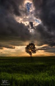 Drevo na polju, Radehova