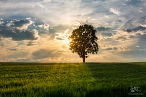 Sončna zvezda skozi drevo