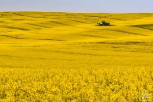 Med rumenimi polji