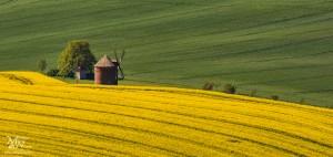 Med rumeno, zeleno in mlinom
