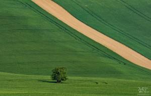 Osamljeno drevo med polji