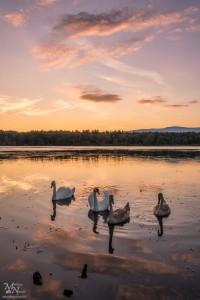 Labodja družina v sončnem zahodu, Rački ribniki