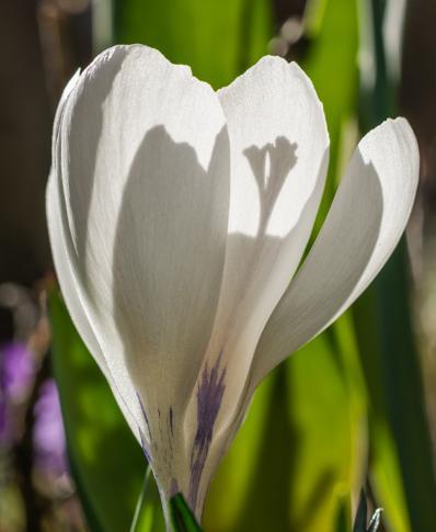 Beli žafran v soncu in sencah