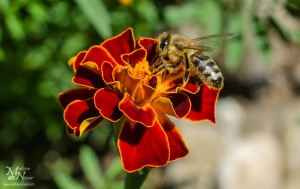 Čebela na cvetu žametnice