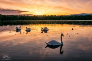 Zadnji sončni žarki z labodi, Rački ribniki