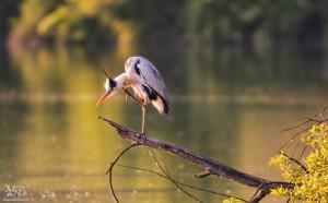 Čaplja ob jezeru
