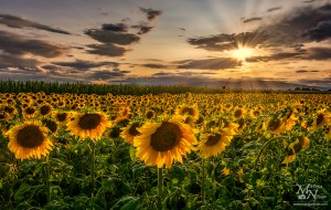 Sončnice v sončni zvezdi, Prepolje