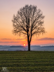 Osamljeno drevo, Radehova