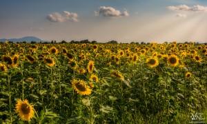 Sončnice v soncu, Hotinja vas