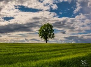 Samotno drevo, Radehova
