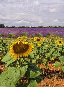 Med sončnicami na polju sivke, Plateau de Valensole