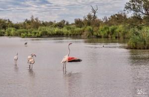 Flamingo v akciji, Pont-de-Gau, Camargue