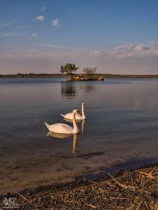 Labodji par na jezeru