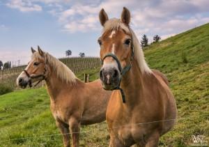 Pozirajoča konja, Jakobski Dol