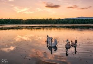 Radovedni labodi v sončnem zahodu, Krajinski park Rače