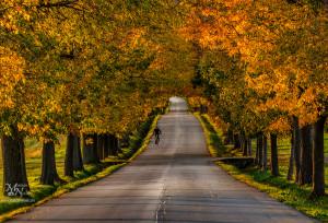 Autumn tree avenue, Pivola
