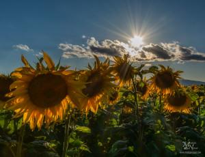 Sončnice in sončna zvezda, Prepolje
