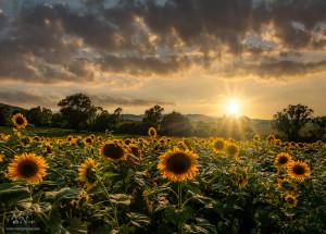 Sončnice v zahodu, Gočova