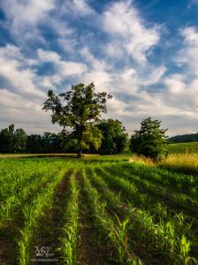 Drevo in polje v soncu, Pivola
